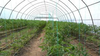 Familia Nichita din satul Colibași dezvoltă o afacere de creștere a roșiilor în sere