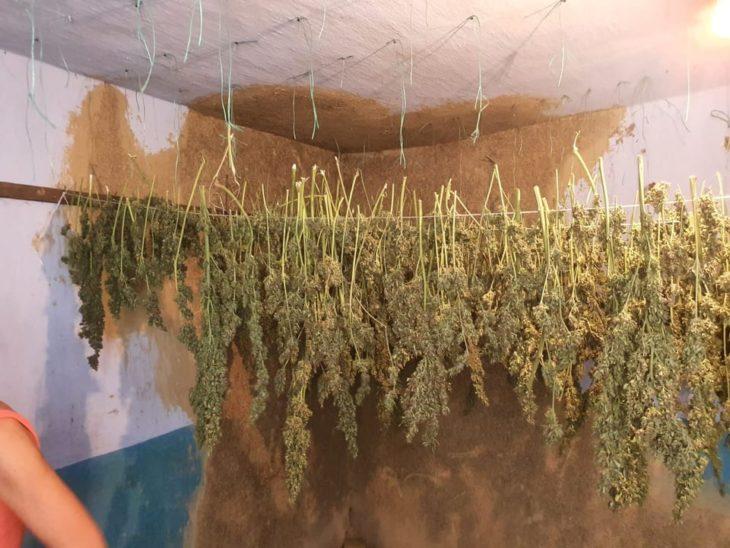 Creștea cînepă în seră împreună cu legumele // FOTO