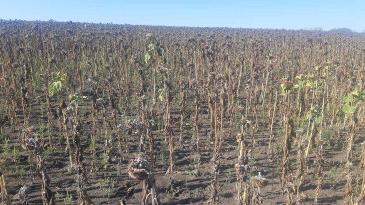 Fermierii din sudul țării au început recoltarea florii soarelui: Avem media de 200-300 kg/ha