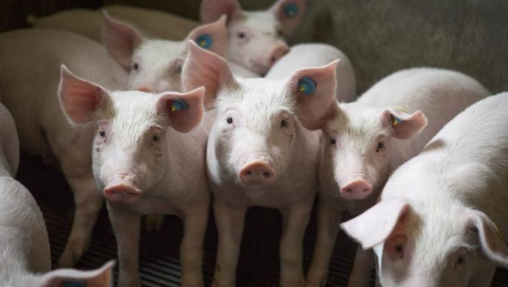 Pesta porcină depistată la Cucoara. 63 de porci au fost nimiciți