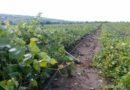 Dezastru după ploaia de ieri! Peste 120 hectare de viță de vie distruse în comuna Lebedenco