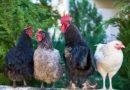 Autorităţile au examinat dreptul Moldovei de a exporta în UE carne de pasăre și ouă