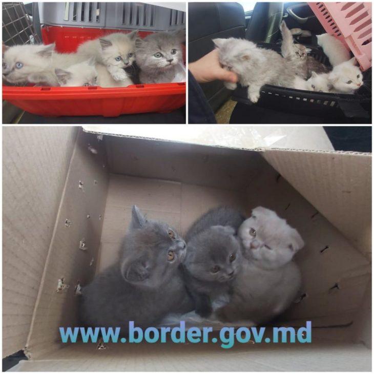 Trafic ilegal cu pisici de rasă /VIDEO