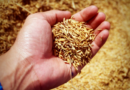 Exportul de grâu din rezerva de stat – interzis până pe 12 aprilie