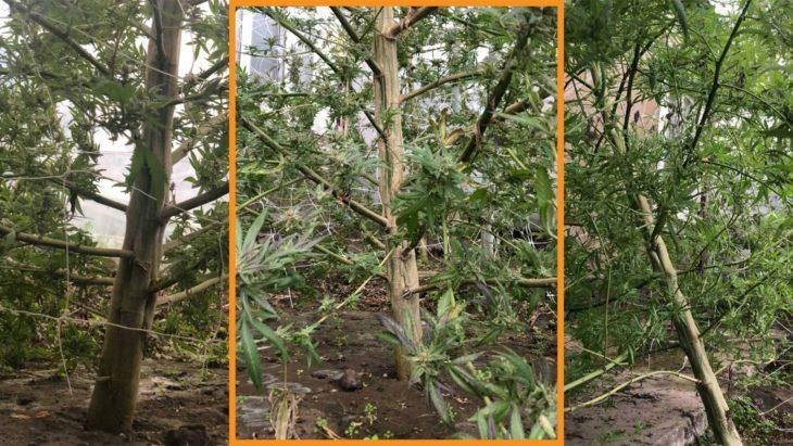 Lupta cu drogurile continuă la Cahul. O plantație distrusă și 2 persoane documentate pentru păstrarea de droguri