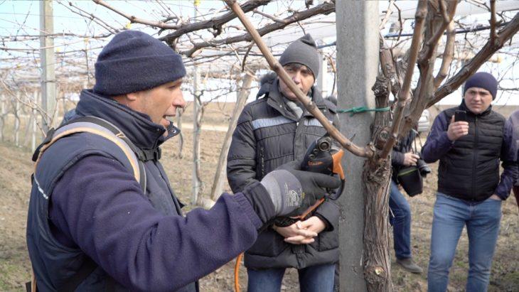 VIDEO// Italienii curăță vița de vie pe o plantație din raionul Cahul. Află motivul