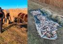 Prinși în zona de frontieră Cahul cu căruța plină cu pește /FOTO
