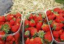 Plantație de căpșuni. Istoria de succes a familiei Razloga din raionul Cahul