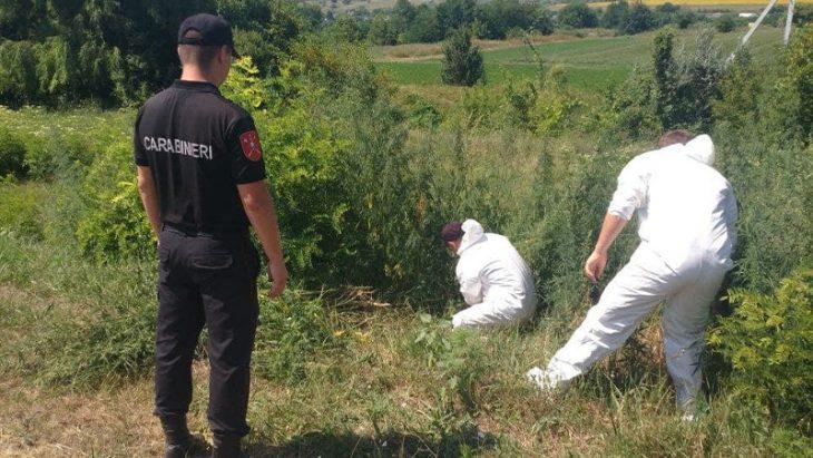 FOTO // Un hectar de  plante de cânepă, depistate de carabinieri  în raionul Cahul