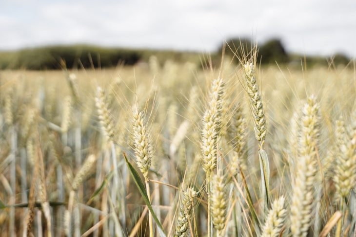 Prețul la grâu ar putea exploda la nivel internațional din cauza secetei și caniculei
